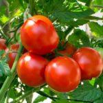 Fresh Tomatoes (1kg)