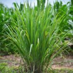 Fresh Lemon Grass
