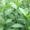 Fresh Bitter Leaf (Iron Weed)